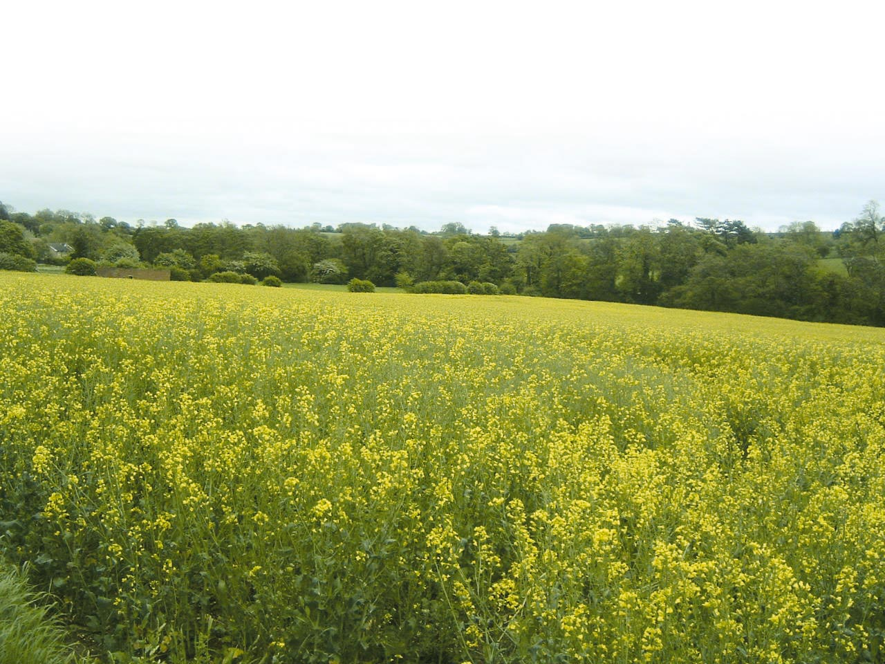 Wharfe Valley Farms - Rapeseed Field